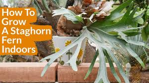 Staghorn Fern Low Light How To Grow A Staghorn Fern Indoors 4 Steps Instructables