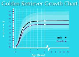 Golden Retriever Dog Weight Loss Help Your Dog Live Longer