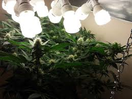 keep cfl grow lights as close to your buds as possible in the flowering stage