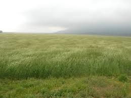 tall green grass field. Tall Grass Green Field A