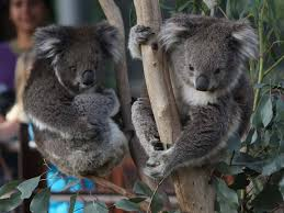 wildlife and zoos nature and wildlife victoria  koalas