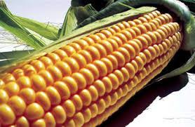 Гербіциди для кукурудзи: обираємо найкраще