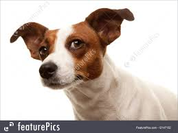 Jack Russell Terrier Dog Picture