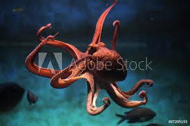 Fotografie Obraz Chobotnice Pobřežní Octopus Vulgaris Posterscz