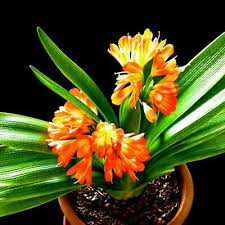 <b>10PCs</b> Clivia Flower Seeds 6 <b>Colors</b> Rare Potted Bushes Bonsai ...