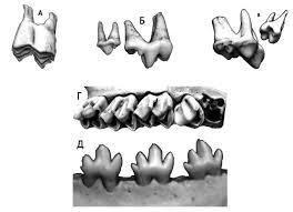 Зубы млекопитающих Зоология Реферат доклад сообщение кратко  Варианты щёчных зубов у млекопитающих А лунчатый зуб полорогих корова Б режущие зубы хищных лиса В бугорчатые зубы всеядных барсук