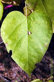 bignoniaceae catalpa speciosa northern catalpa leaf simple whorled cordate can