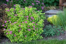 5 top rated shrubs for easy maintenance