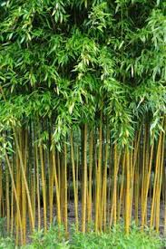 Small Picture How to Grow Black Bamboo Plants Phyllostachys nigra Gardens and
