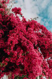 Pink bougainvillea flowers against ...