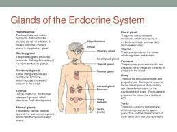 A 3 Endocrine System Glands