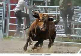 rodeo bull charging. Contemporary Rodeo Rodeo Bull Charging With A