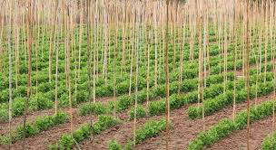 garden poles. download bamboo poles in a vegetable garden. stock image - of crops, grown garden