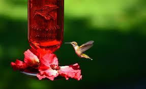 hummingbird and hummingbird feeder