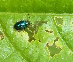 Corn Flea Beetle Flea Beetles How To Identify And Get Rid Of Flea Beetles