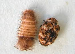Small Brown Beetle In Bedroom Identifying And Controlling Clothes Moths Carpet Beetles And
