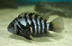 The Ultimate Convict Cichlid Care Guide Fish Keeping Advice
