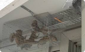 squirrel in ceiling. Beautiful Squirrel Squirrels In The Ceiling  Get Them Out In Squirrel O