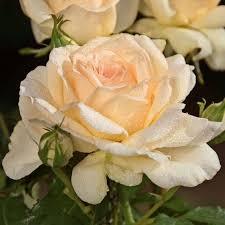 rosier buisson sweet love harmisty