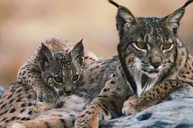 lynx size one for all all for one dwindling iberian lynx population