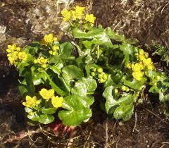 Caltha palustris - Wikipedia