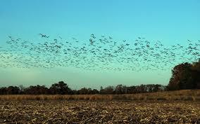san carlos sonora wingwestbirding com alamosbanner seagulls mountain lake birds