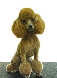 designer dog grooming houston after 1