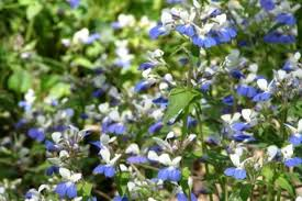 cky wildflower blue e marys