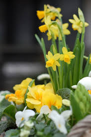 79 best Daffodil Hill images on Pinterest | Daffodils, Gardens and ...