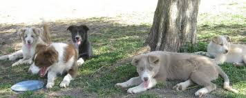 our pack border collie puppies for