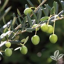 PlantFiles Pictures Texas Wild Olive White Geiger Anacahuita Wild Olive Tree Fruit