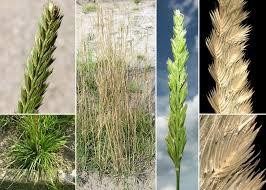 Cynosurus cristatus L. - Guida alla flora degli stagni temporanei ...