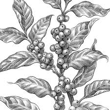 Extend a curved line horizontally from each of the parallel lines. Coffee Tree Drawing Page 1 Line 17qq Com