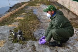 USGS Scientist Andy Ramey releases a Northern Pintail Duck in Japan