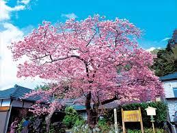 河津 桜 原木