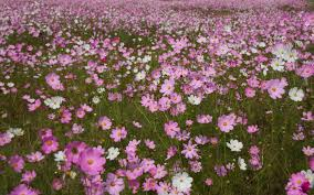 free images nature white field meadow flower petal scenery blooming colorful pink flora wildflower wild flowers south africa flowering plant