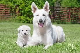 white german shepherd mixed black tan german shepherd. Brilliant Mixed With White German Shepherd Mixed Black Tan