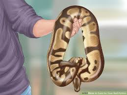 How To Care For Your Ball Python With Pictures Wikihow