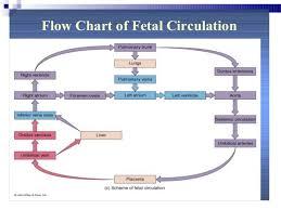 Fetal Circulation Flow Chart Google Search Cardiac