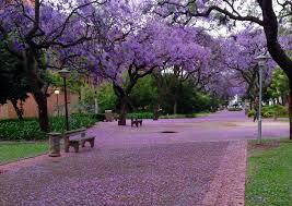 Purple Rain Photograph Taken At The University Of Pretoria