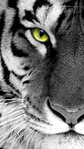 white tiger iphone 5 wallpaper. Interesting White Black N White Photo Tiger Face Close Up IPhone 5 Wallpapers White Tiger  Pictures Inside Iphone Wallpaper