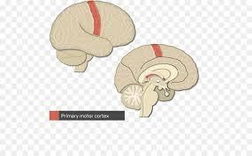 primary somatosensory cortex cerebral cortex gyrus parietal lobe brain