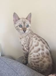 snow bengal cat. Simple Snow Blue Eyed Snow Bengal Kitten For Snow Cat D
