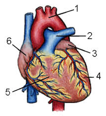 By Of Definition webster Heart Merriam w8qz5FWWE