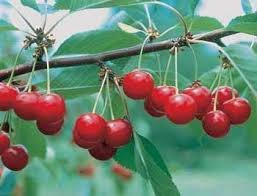 Best 25+ Cherry Fruit Tree Ideas On Pinterest | Planting Fruit ...