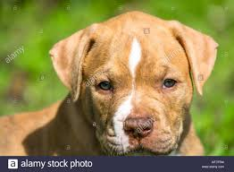 brown american bulldog. Fine Brown Cute American Bulldog Brown Puppy With Light Coloured Eyes And Against A  Green Field Background The Bulldog Is Breed Of Utility Dog Which With Brown L