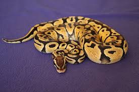 Getting Started With Your Royal Ball Python