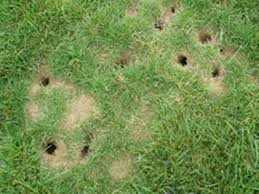 how to get rid of voles in garden. Wonderful Rid How To Get Rid Of Voles Throughout In Garden