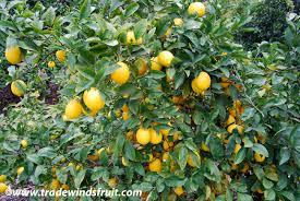 lemon tree x: banner meyer lemon banner