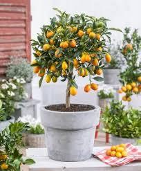 MASTER GARDENER Kumquat Trees Flower Slower In Warm Weather Kumquat Tree Not Bearing Fruit